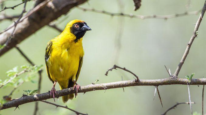 Yellow tail Blackface
